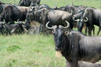 Wildbeest at Serengeti National Park