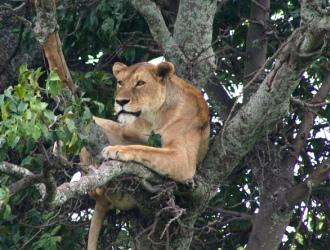 Lion Lake Manyara